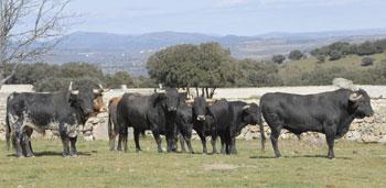 El ganadero Victoriano del Río -a quien pertenecen los toros de la fotografía- estará presente en la Peña El Salcedo.