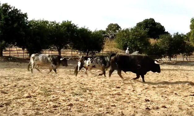 Los toros de Torrestrella para Bilbao