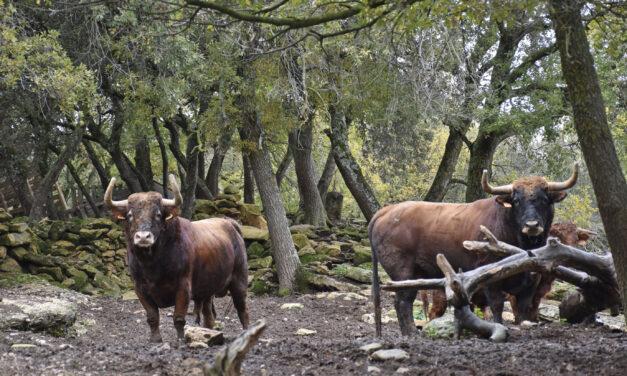 Un viaje a los orígenes del toro de lidia