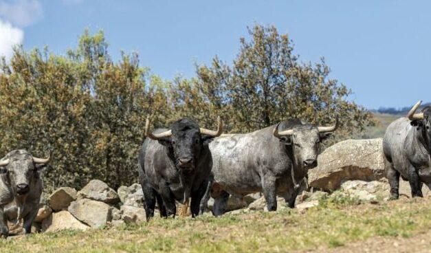 El toro para grandes acontecimientos