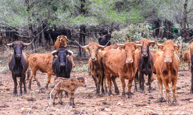 La Diputación de Castellón destina 119.000 euros a ayudar a los ganaderos de bravo de la provincia