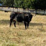 Lastimado (Victoriano del Río). Número 132. 615 kg. Capa: negro burraco