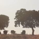 Ganadería Toros de Mollalta