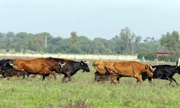 El futuro de muchas ganaderías