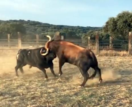 Duelo de bravos en la ganadería de Talavante