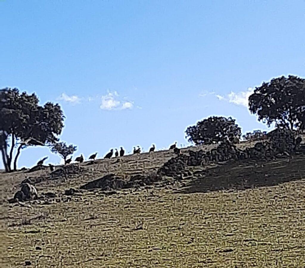 Los buitres, al acecho en la finca de Montealto.