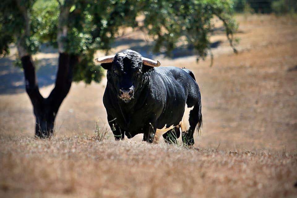 Los toros de Vinhas para Campo Pequeno